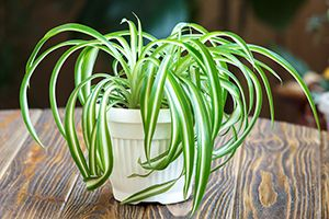 houseplants that are safe for cats