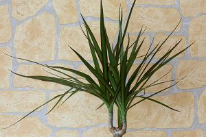 Straight-Margined Dracaena