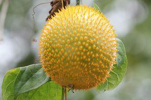 Teasel Gourd