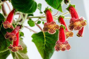 Tree Gloxinia