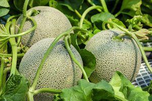 True Cantaloupe