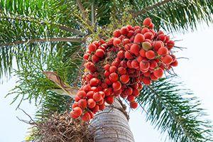 Dwarf Royal Palm
