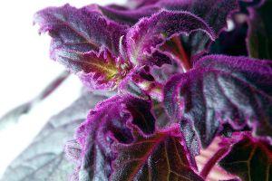 Velvet Plant