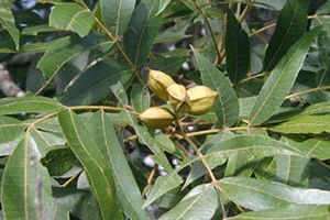 Water Hickory
