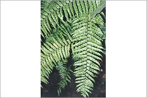 Whitman Fern