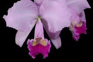 Winter Cattleya