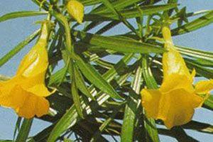 Yellow Orleander