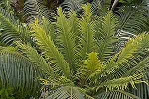 Coontie Palm