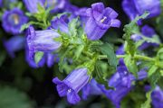 Canterbury Bell