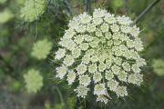 Carrot Flower