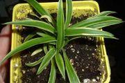 Chlorophytum bichetti