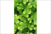 Moss Fern
