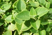 Bread and Butter Plant