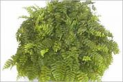 Toxic and non toxic plants aspca for Non toxic ferns