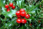 English Holly