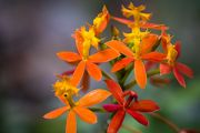 Fiery Reed Orchid