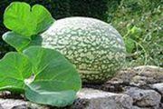 Fig Leaf Gourd
