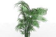 Forster Sentry Palm