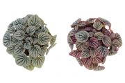 Ivy Peperomia