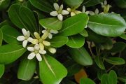 Japanese pittosporum