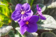 Kenya Violet