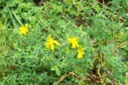 Klamath Weed