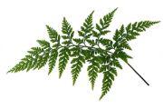 parsley fern