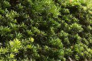 Buddhist Pine