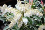 Staggerbush