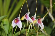 Tailed Orchid