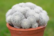 Thimble Cactus
