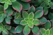 Variegated Wax Plant