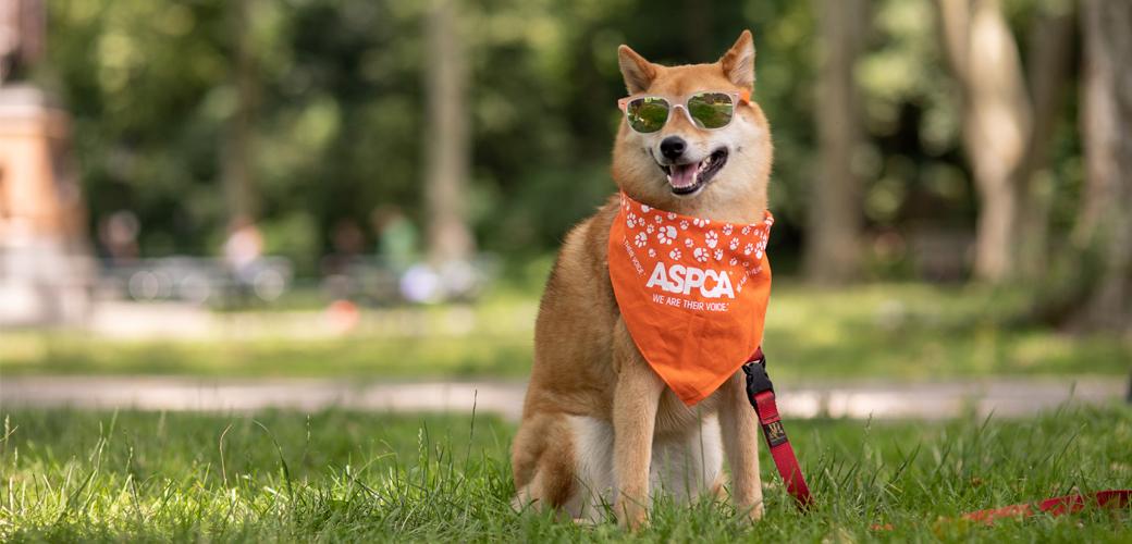 a shiba inu in sunglasses and a bandana in a park