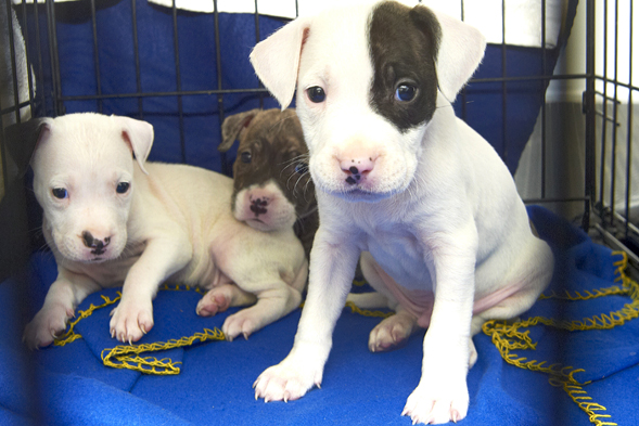 Three pit bull puppies