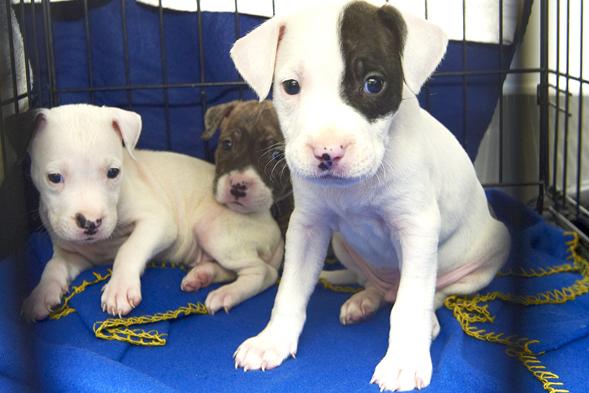 Three pit bull puppies