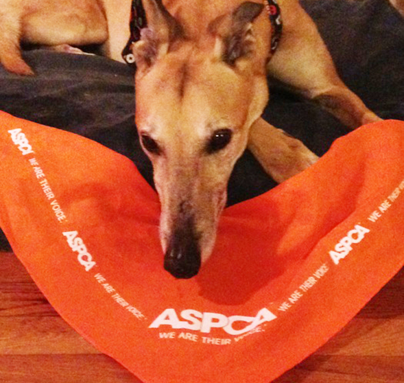 Greyhound next to orange ASPCA bandanna