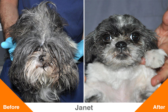 Trio of Severely Matted, Malnourished Shih Tzus Recovers at the ASPCA Following NYPD Rescue