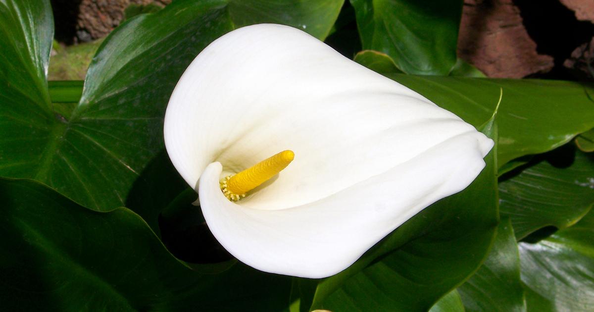 trumpet lily aspca