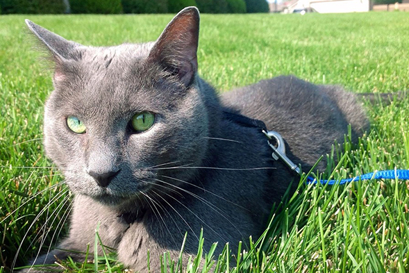 Cat on leash laying in grass