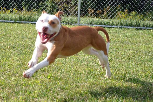 Tan and white pit bull running outside