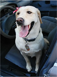 Happy Yellow Lab in the Front Seat of a Car