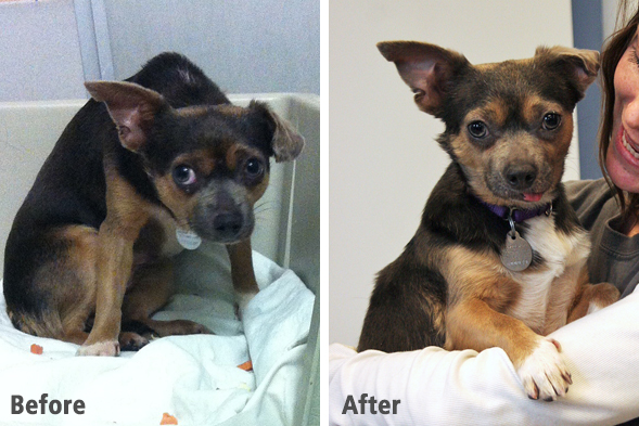 Before and after of neglected chihuahua