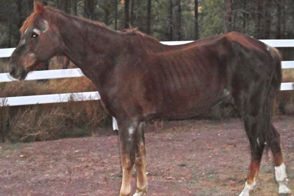 Skinny horse with outline of ribs showing