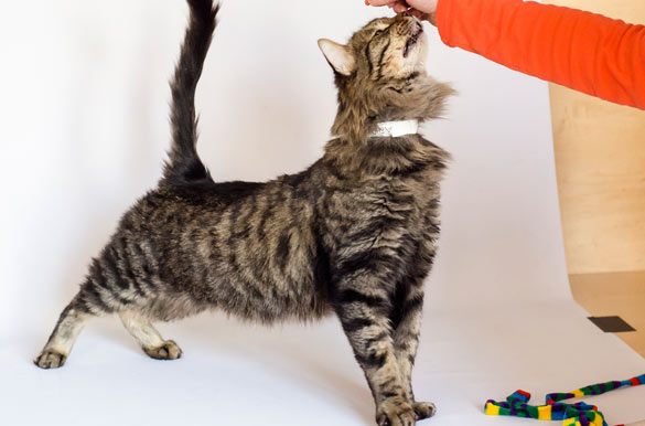 Adopt A Maine Coon Cat Nyc