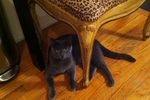 Grey cat naps under leopard print chair